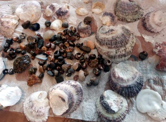 Seashells from Winter Island Salem MA